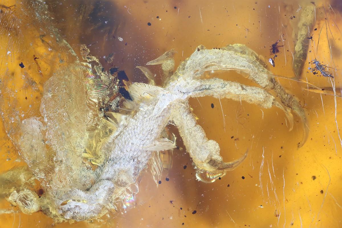 A idade do pássaro é estimada em 100 milhões de anos (Foto: Reprodução/ Professor Xing Lida)