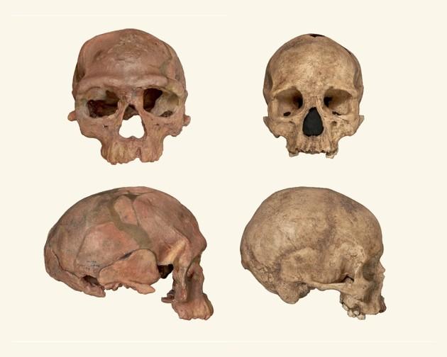 À esquerda, os fósseis encontrados; à direita, crânios de humanos modernos (Foto: NHM London)