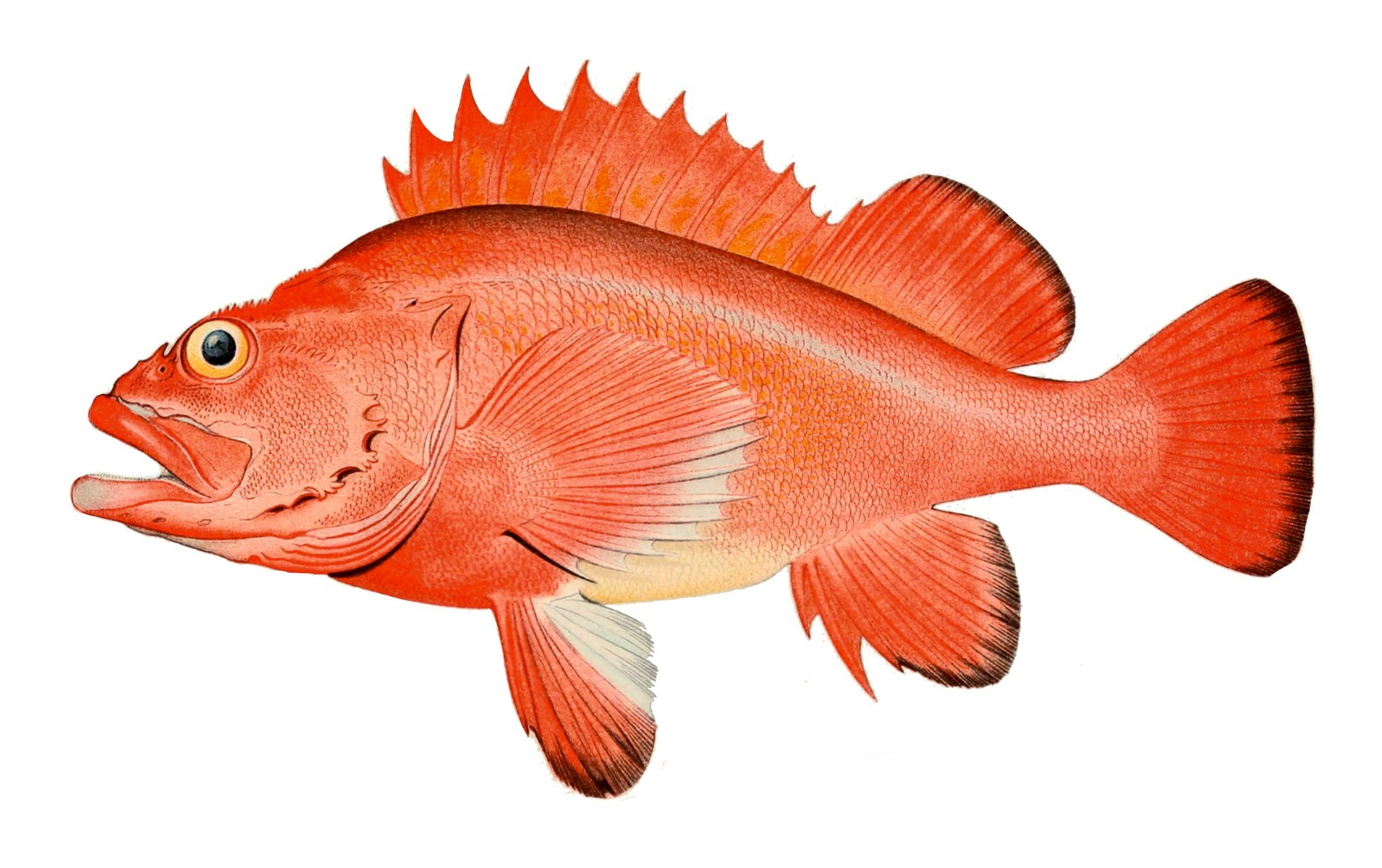 (Foto: Wikimedia/Bulletin of the United States Fish Commission)