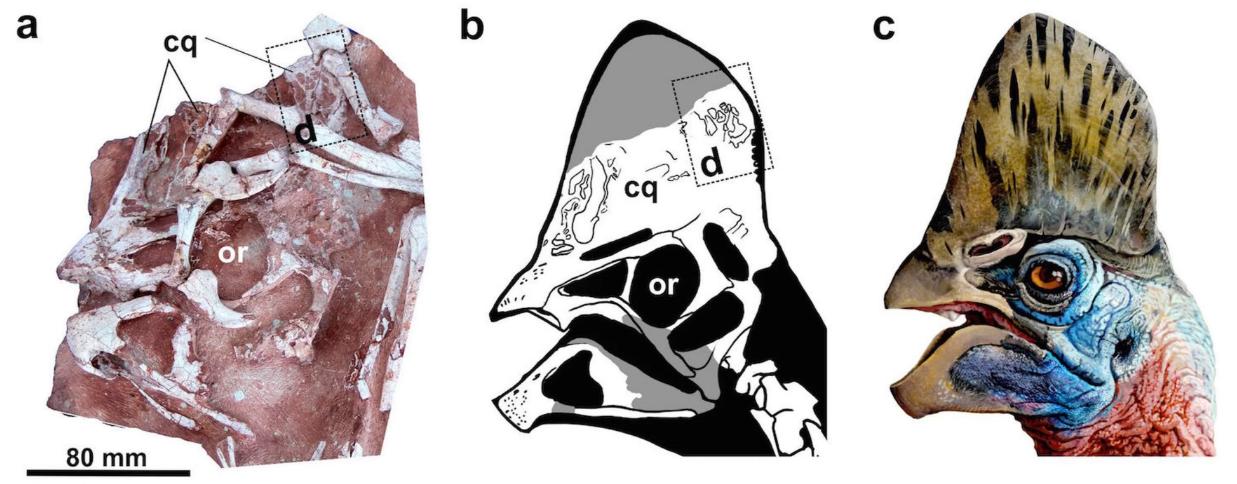 (A) Fóssil, (b) desenho e (c) ilustração da crista do Corythoraptor jacobsi (Foto: Lu, J et al/Scientific Reports 2017)