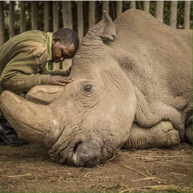 Morre o último rinoceronte branco da terra.
