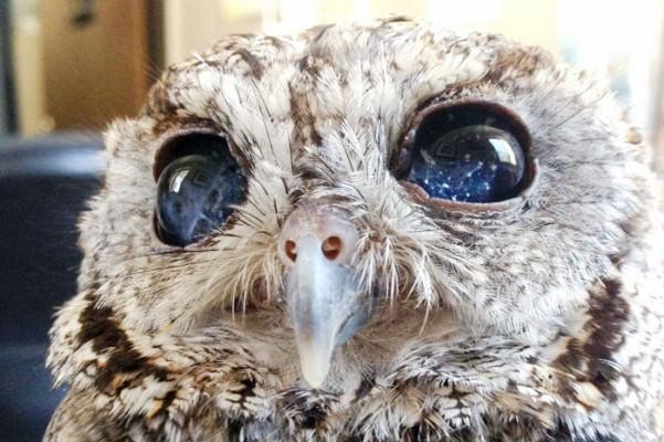 Apesar da beleza de seus olhos, o animal é praticamente cego (Foto: Wildlife Learning Center/Divulgação)